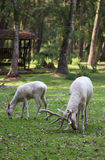 Zwei weiße rote Rotwild, die das Gras im Wald essen Stockfoto