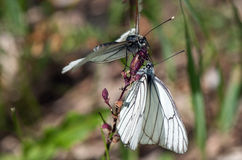 Zwei weiße Schmetterlinge auf einer Blume Stockfotografie