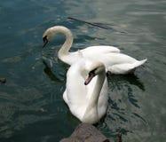 Zwei weiße Schwäne auf dem Teich lizenzfreies stockfoto