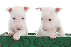 Zwei weiße Stierterrierwelpen in einem grünen Kasten Stockfotografie