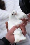 Zwei weiße Tauben lizenzfreies stockfoto