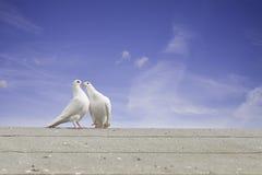 Zwei weiße Tauben Lizenzfreie Stockfotos