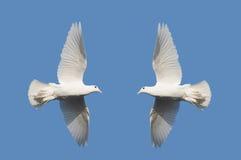 Zwei weiße Tauben auf blauem Hintergrund Stockfoto