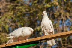Zwei weiße Tauben auf einem Hintergrund von Blättern stockbilder
