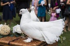 Zwei weiße Tauben auf Weidenkorb auf Hochzeit Lizenzfreie Stockfotos