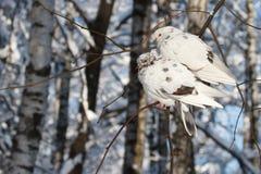 Zwei weiße Tauben wurden auf einem Zweig eingefroren Lizenzfreie Stockfotografie