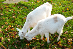 Zwei weiße Ziegen Stockbild