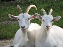 Zwei weiße Ziegen lizenzfreie stockbilder