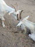 Zwei weiße Ziegen Lizenzfreie Stockfotos
