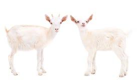 Zwei weiße Ziegen stockfotografie