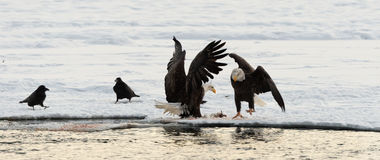 Zwei Weißkopfseeadler und zwei Raben. Stockfotos