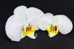 Zwei weiße Orchideenblüten auf schwarzem Hintergrund lizenzfreies stockbild