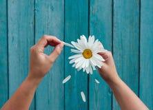 Zwei weibliche Hände halten in der Hand große Blumenblätter und Riss des weißen Gänseblümchens lizenzfreies stockbild