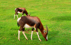 Zwei weiden lassende Antilopen nach Regen Stockfotografie