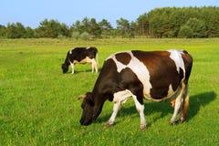 Zwei weiden lassende Kühe in einer Reihe Lizenzfreies Stockbild