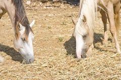 Zwei weiden lassende Pferde Stockfotos