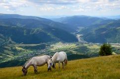 Zwei weiden lassende Pferde stockbild