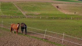 Zwei weiden lassende Pferde in der Bauernhofkoppel nahe Zaun am Frühlingstag stock video