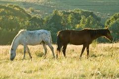 Zwei weiden lassende Rustlers Pferde Lizenzfreie Stockfotos