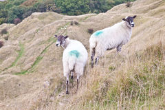Zwei weiden lassende Schafe Lizenzfreies Stockbild
