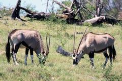 Zwei weiden lassender afrikanischer Antilopen Oryx stockfotos