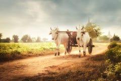 Zwei weiße asiatische Ochsen, die hölzernen Warenkorb auf staubiger Straße ziehen myanmar Stockfotografie