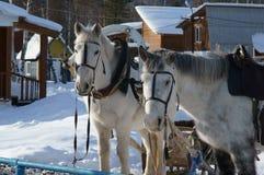 Zwei weiße Pferde Stockbild