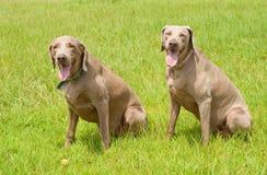 Zwei Weimaraner Hunde, die auf grünem Gras sitzen Lizenzfreies Stockfoto
