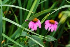 Zwei weitere coneflowers, die auf der Seite des Gartens blühen Stockfotos