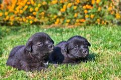 Zwei Welpen auf dem Gras Stockbilder