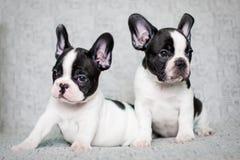 Zwei Welpen der französischen Bulldogge - Zwillinge Lizenzfreies Stockbild
