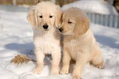 Zwei Welpen des goldenen Apportierhunds im Schnee Stockbild