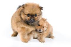 Zwei Welpen des Spitzhundes im Studio Lizenzfreies Stockfoto