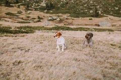 Zwei Welpen sind in der Wiese, die sich hinlegt, um zu spielen fortzufahren lizenzfreie stockfotografie