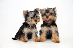 Zwei Welpen Yorkshire-Terrier Lizenzfreies Stockbild
