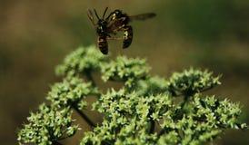Zwei Wespen, die über der gleichen Stelle kämpfen stockfotos