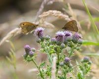 Zwei Wiesen-Brown-Schmetterlinge auf einer Distel Lizenzfreies Stockfoto