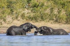 Zwei wilde afrikanische Buschelefanten, in Kruger-Park lizenzfreie stockfotos