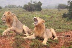 Zwei wilde afrikanische männliche Löwen Stockfotos