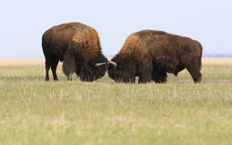 Zwei wilde Büffelkämpfe lizenzfreie stockfotografie