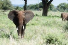 Zwei wilde Elefanten in einer Familien-Gruppe in einer üppigen Tansania-Landschaft lizenzfreie stockbilder