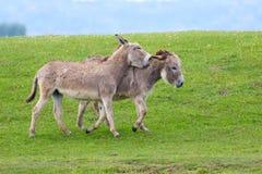 Zwei wilde graue Esel Lizenzfreie Stockfotografie
