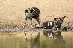 Zwei wilde Hunde stehen nahe bei einem waterhole still, um Wasser zu trinken Stockfotos