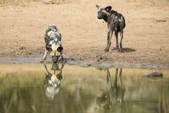 Zwei wilde Hunde stehen nahe bei einem waterhole still, um Wasser zu trinken Lizenzfreie Stockfotografie