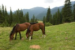 Zwei wilde Pferde. Lizenzfreie Stockfotos