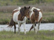 Zwei wilde Pferde Assateague Lizenzfreie Stockfotos