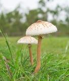 Zwei wilde Pilze auf dem Gebiet Stockbild