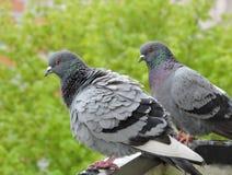 Zwei wilde Tauben Stockbilder