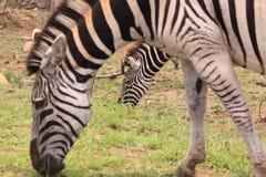 Zwei wilde Zebras lizenzfreies stockfoto