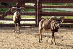 Zwei wilde Ziegen im Zoo Lizenzfreie Stockfotografie